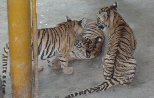 狮子,老虎,豹子,大猫而已,依然完美.