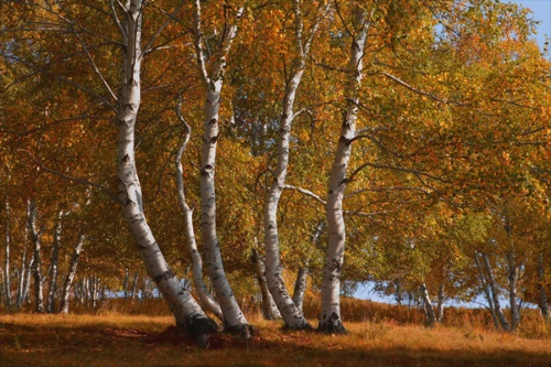 桦树林的孤独