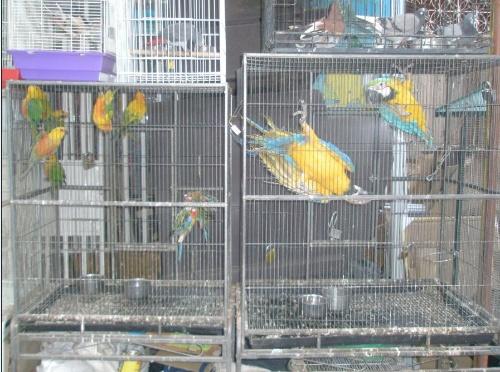 壁纸 动物 笼 笼子 鸟 鹦鹉 500_372