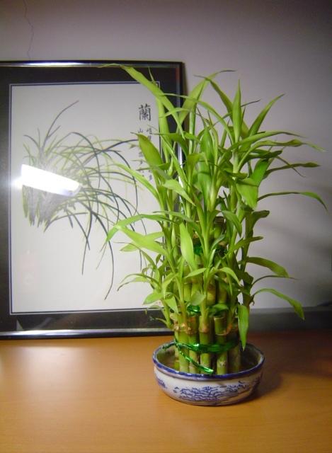 这小竹子并不难养,但一定要坚持经常换水