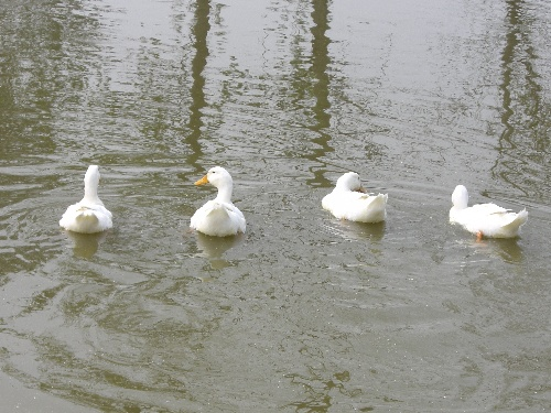 我的鸭子在我温暖的记忆里!