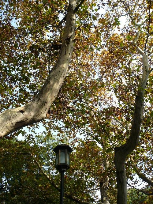 秋天的梧桐树.