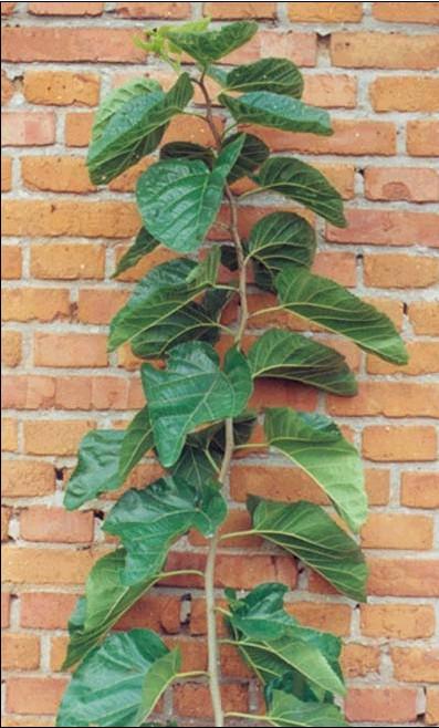 家里种桑树好不好
