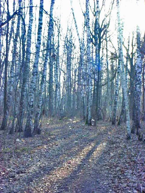 莫斯科的居住区与森林交错分布。穿过一片草地,就进入了一望无际的白桦林。一条曲曲弯弯的小路向树林深处延伸。白桦树挺直高耸,保持着原始的形态,很少有人工修理的痕迹。据说莫斯科在卫国战争的战火中已经基本烧光。这些森林大多是在上世纪4、50年代栽种的。树木之间有厚厚的树枝落叶形成的腐植层,脚踩上去,软绵绵的,很有弹性。我们顺着小路向树林深处漫步,西方的太阳正要落山。树林里静悄悄的,只有我们三人沙沙的脚步声和树梢上飘荡着的百灵鸟清脆的歌声。我们都陶醉在这静谧的环境中,说话的声音不自觉地低了下来。一种异国情调、一种