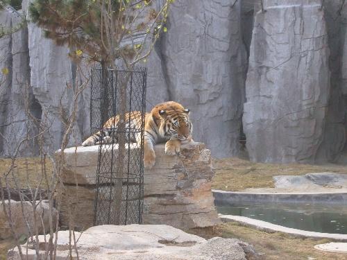 动物园的狮子