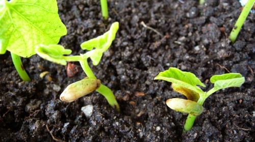 蚕豆春天发芽图片