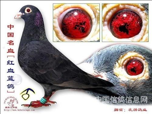 动物 鸽 鸽子 教学图示 鸟 鸟类 500_374