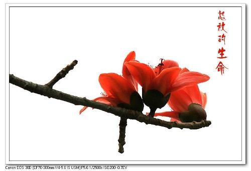 """最早称木棉为""""英雄""""的是清人陈恭尹,他在《木棉花歌》中形容木棉花""""浓"""