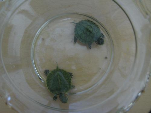 我把他们放在了一个很大的玻璃鱼缸里面,那曾经是我四只可爱的小金鱼