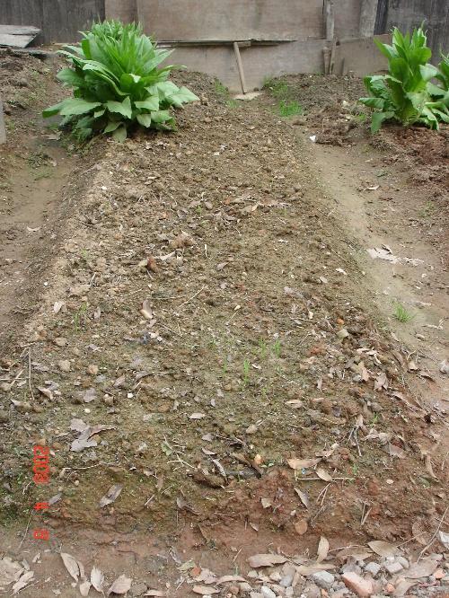 彩玉米的生长过程