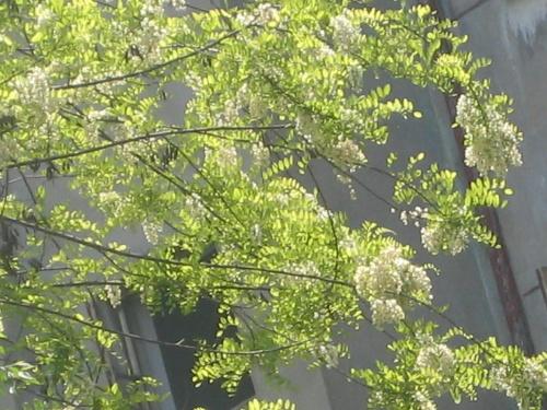 诱人的槐花,这是院外的风景,先来做个引子.