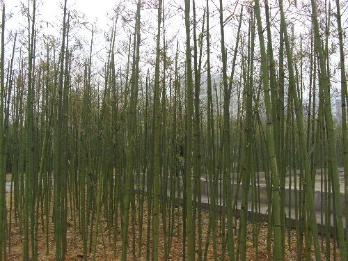 雨后杨树菇图片大全